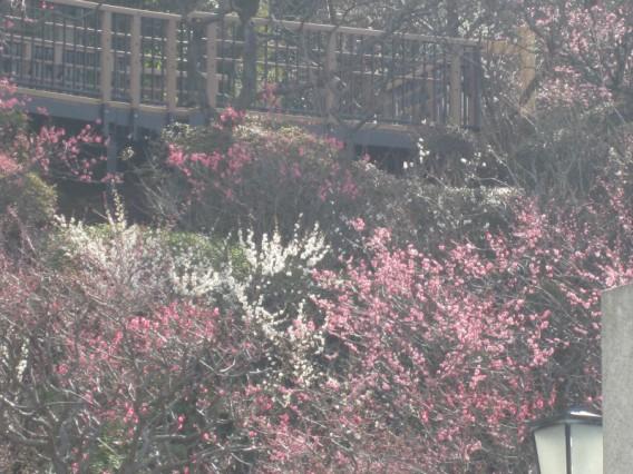【池上梅園開花状況】  (2013年2月28日現在)