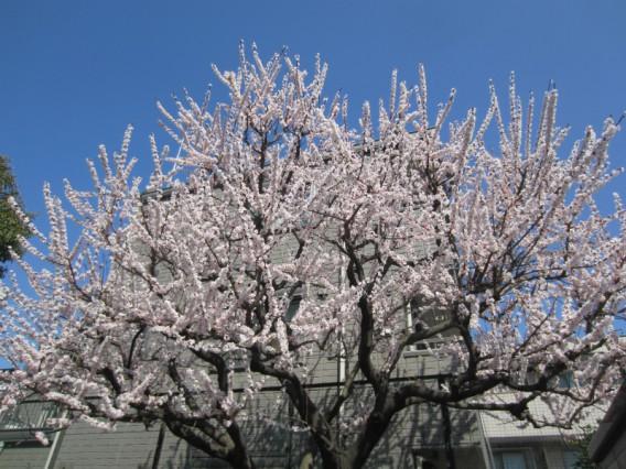 桜?いえ杏です。