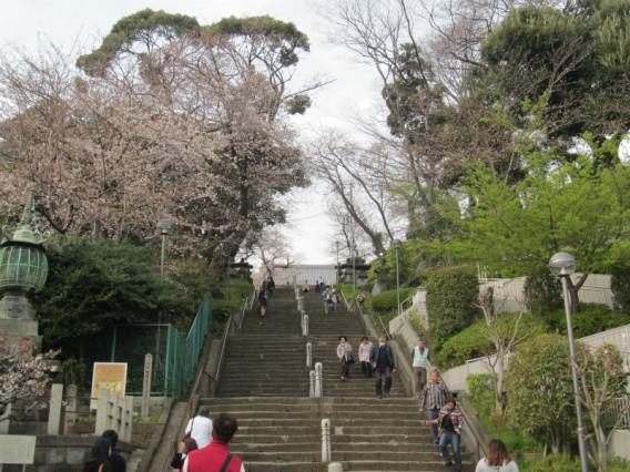 【桜の開花状況・池上本門寺2013年3月20日】