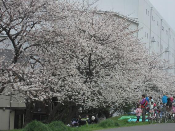 お花見の名所・六郷土手の桜2013年