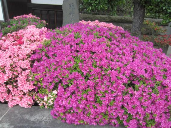 【4月~6月の花「つつじ」花言葉は】