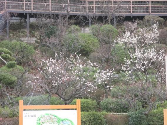 池上梅園・開花状況・2014年2月4日