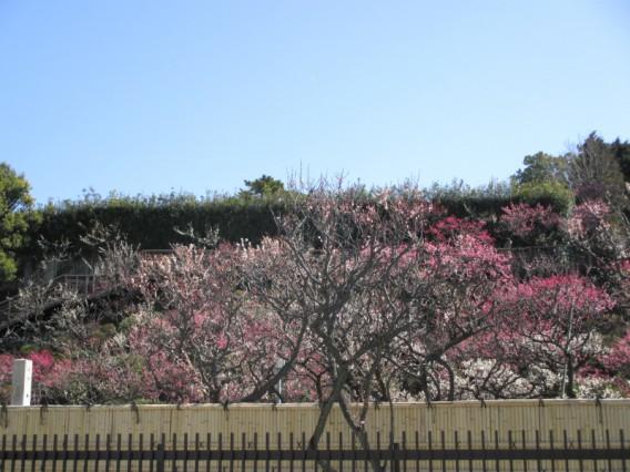 池上梅園開花状況・2014年3月7日