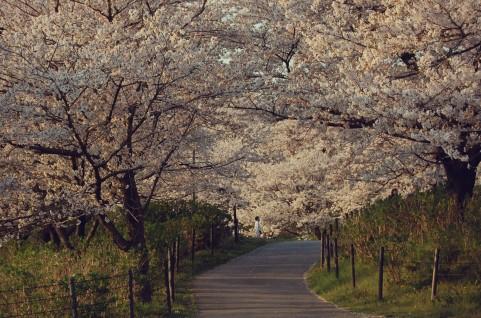 桜の開花はどう判断?開花時期