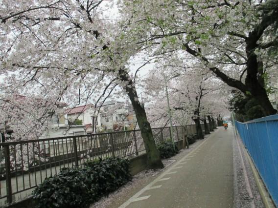 桜のトンネル・雪谷中学横・2014年4月3日