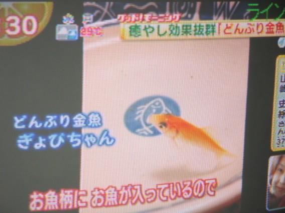 """どんぶり金魚""""ぎょぴ""""TVデビュー"""