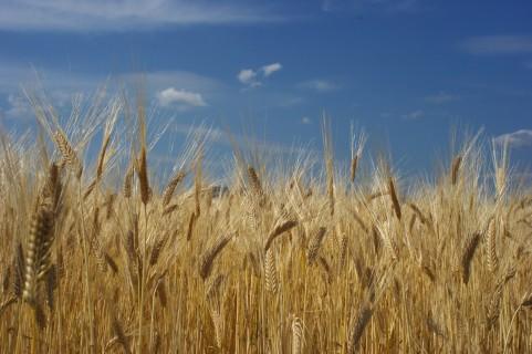 「グルテンフリー」って何?小麦が危険