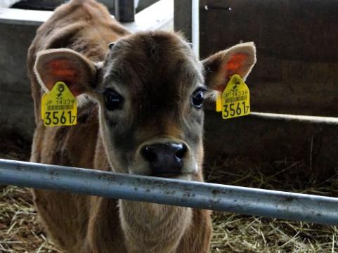 母と子も生き別れる・牛乳生産の現場