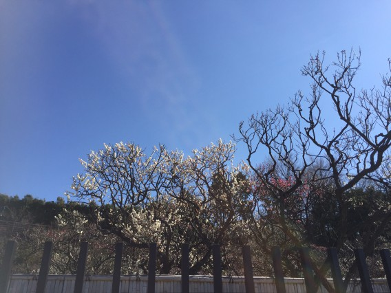 池上梅園の開花状況・2016年2月10日その2